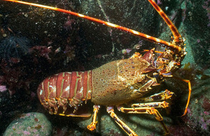 Marine wildlife - spiny lobster